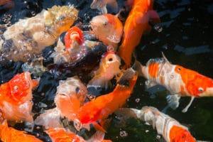 koi-fish-in-pond