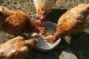 Chickens eating