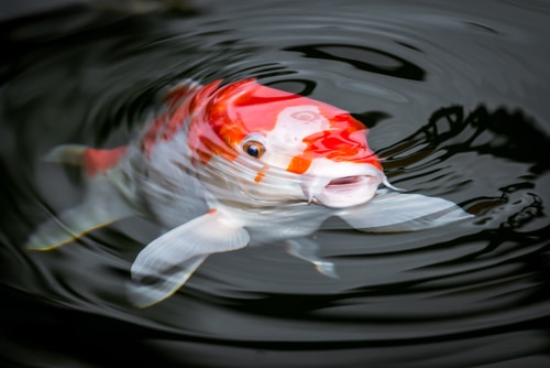 Koi pond predators
