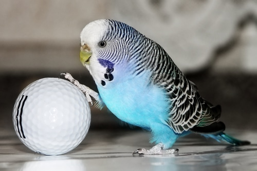 Training a budgie
