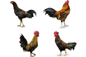 Types of chickens