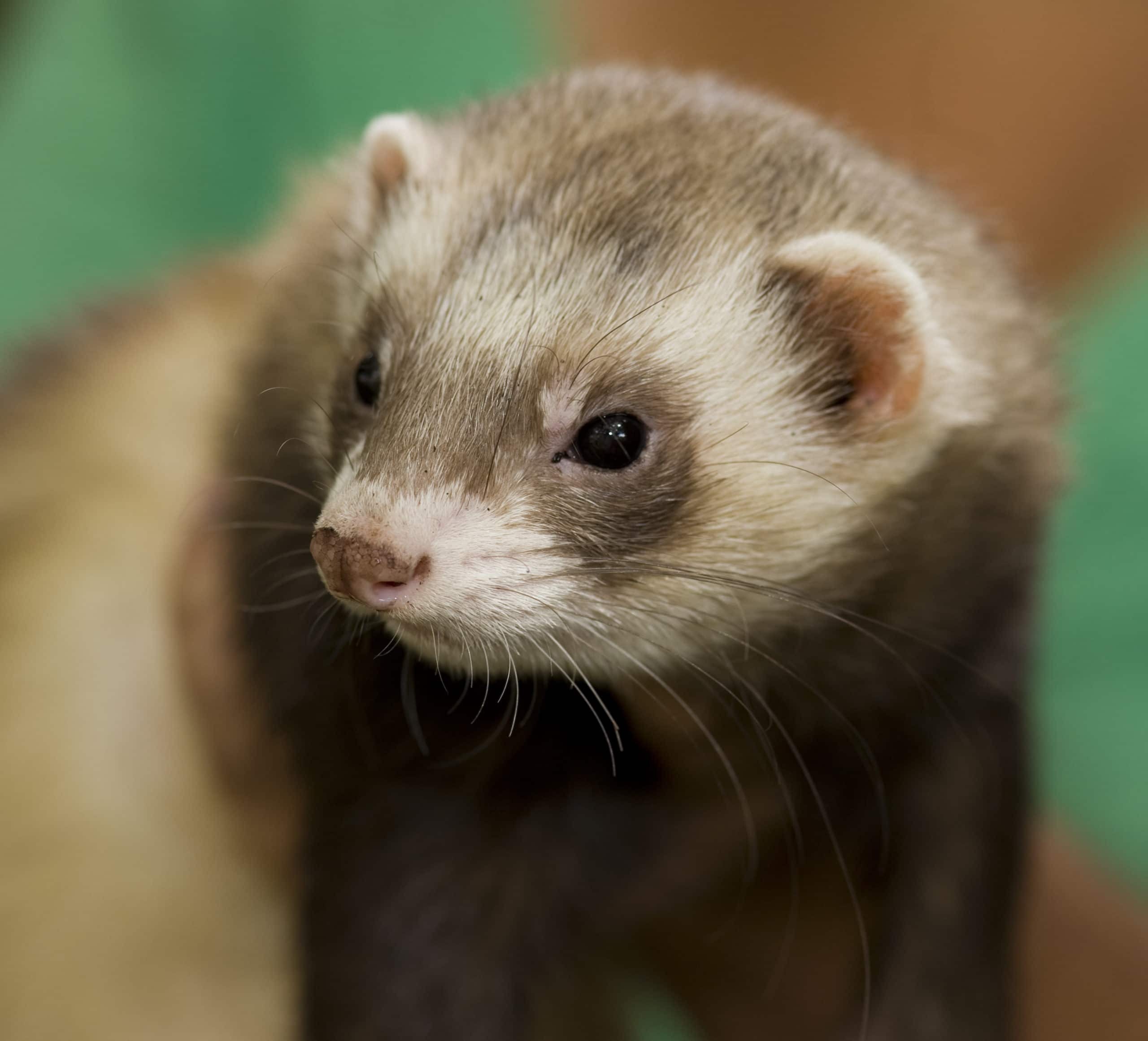 5 fun ways to play with your pet ferret - Niche Pets