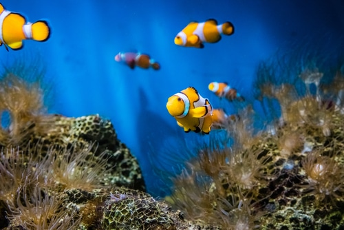 Clownfish in saltwater aquarium