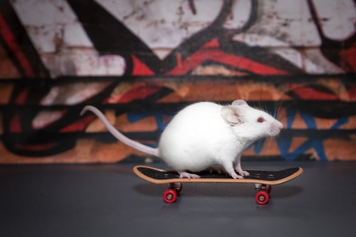 Pet mouse... on a skateboard!