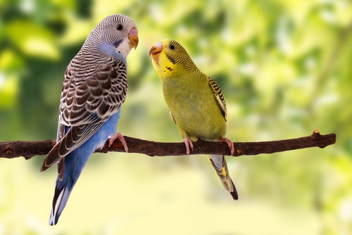 Teach your budgie to talk