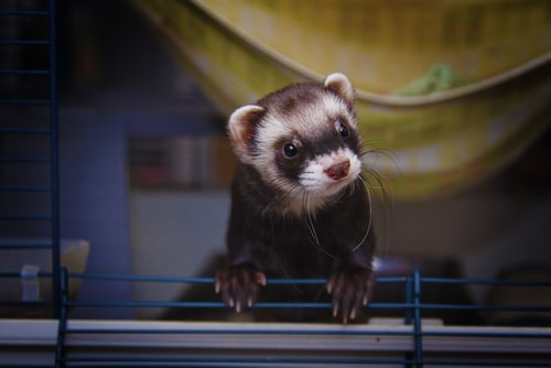 Pet ferret in a cage