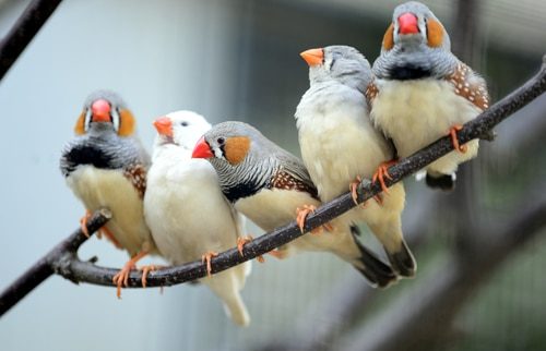 Pet zebra finch