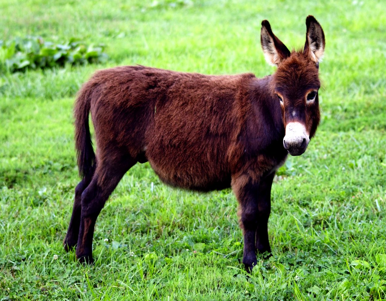 Is a miniature donkey the perfect pet for you? - Niche Pets