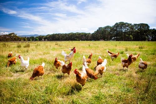 Pet chickens