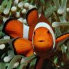 Pet Nemo clown fish