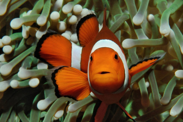 Pet Nemo clown fish