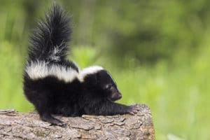 Do skunks make good pets?