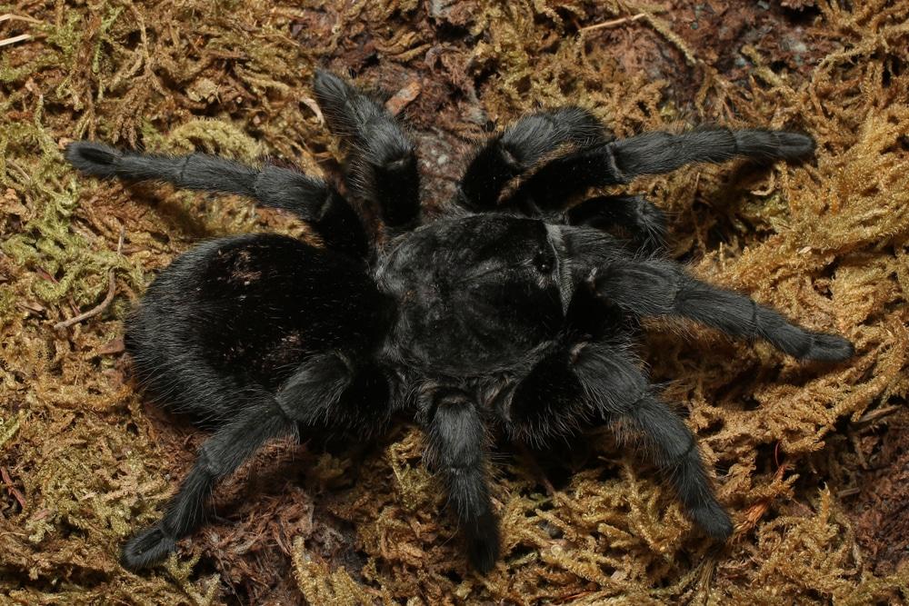 Brazilian Black Tarantula