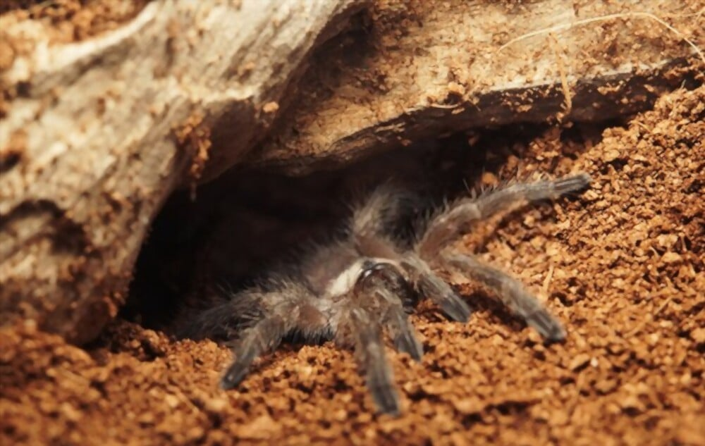 blue foot baboon tarantula