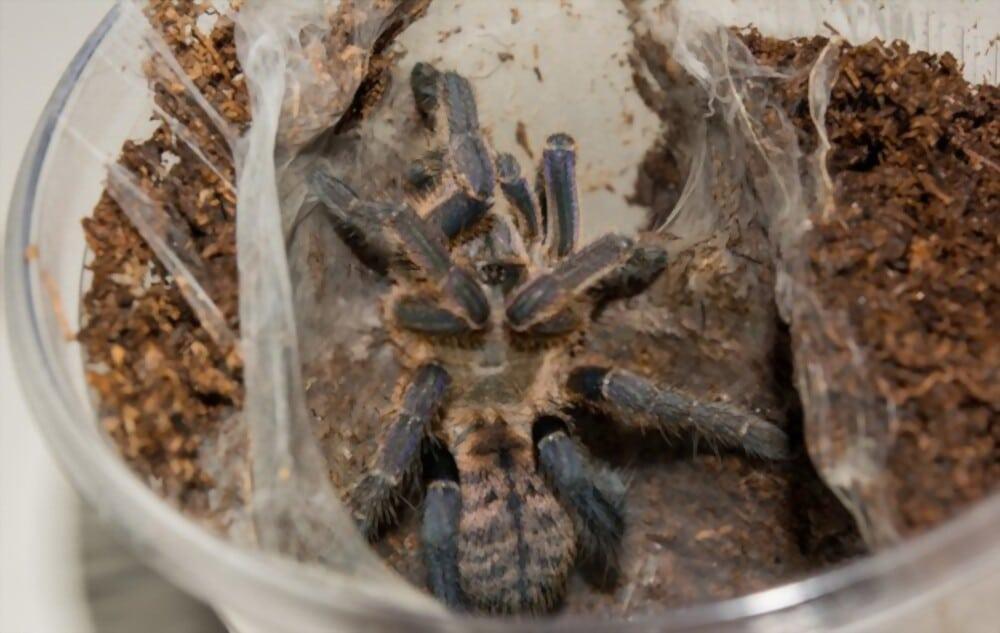 tarantula-substrate