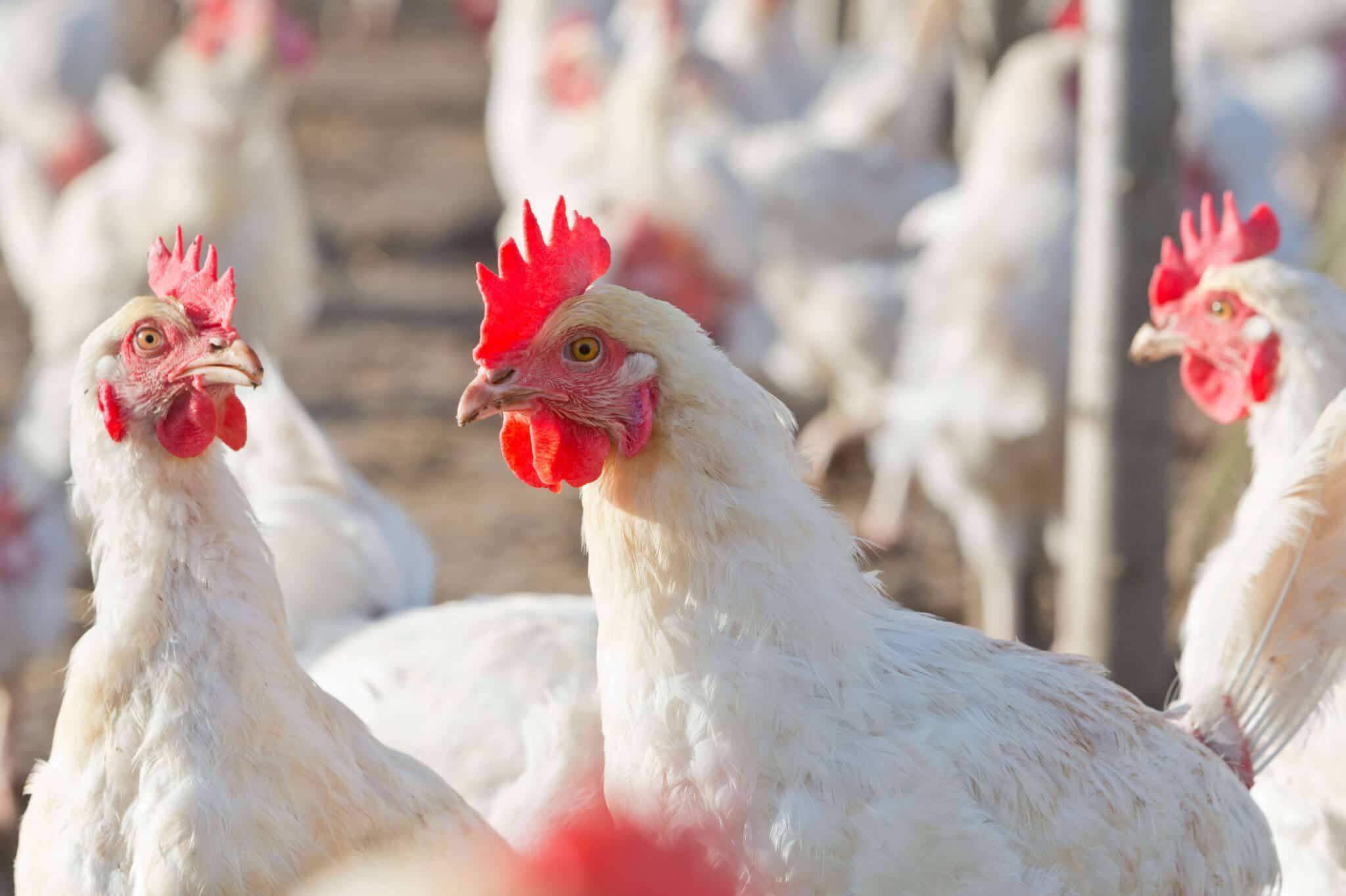 amberlink chickens