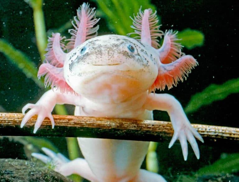 Axolotl in tank